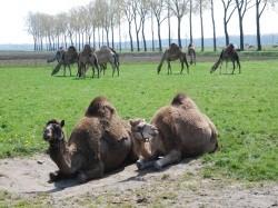 Vergrote afbeelding van Diversen Kamelenmelkerij Smits in Berlicum