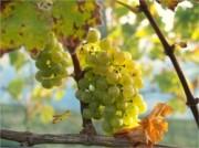 Voorbeeld afbeelding van Wijngaard, wijnproeverij Wijngaard Slingehorst in Groenlo