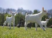 Voorbeeld afbeelding van Kinderboerderij, Boerderij bezoek Geitenboerderij Ridammerhoeve in Amstelveen