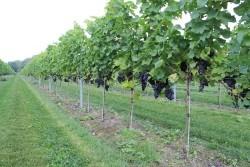 Vergrote afbeelding van Wijngaard, wijnproeverij Wijngaard Ol Diek in Nieuwolda