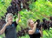 Voorbeeld afbeelding van Bezienswaardigheid Druivenkwekerij Nieuw Tuinzight   in Den Hoorn ZH