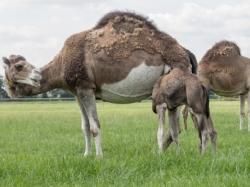 Eerste extra afbeelding van Diversen Kamelenmelkerij Smits in Berlicum