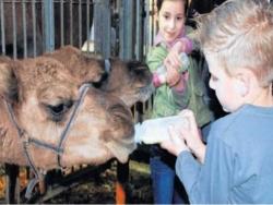 Derde extra afbeelding van Diversen Kamelenmelkerij Smits in Berlicum