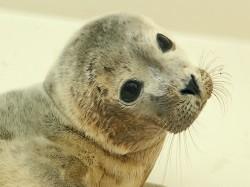 Vergrote afbeelding van Dierentuin A Seal Zeehondenopvang in Stellendam