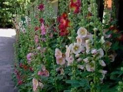 Vergrote afbeelding van Stokrozen-Hortensia-Hemerocallis-Bamboe Weekend in Espel